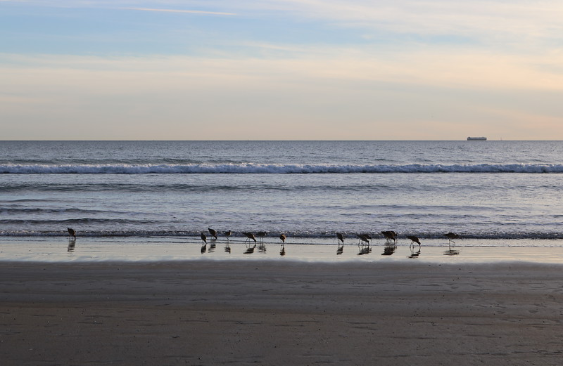 Sandpipers Search the Surf
