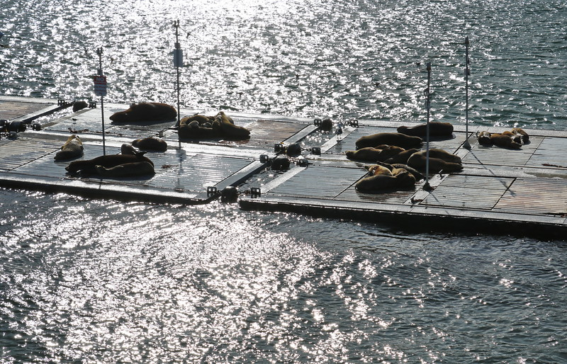 Sea Lions at Rest on the Floating Dock