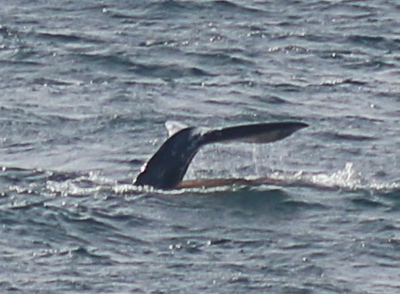 Young Gray Whale Fluke