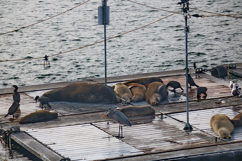 Sea Lions on the Floating Dock