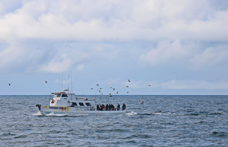 Seagulls Flock Around the Fishing Boat with  Whale Watchers