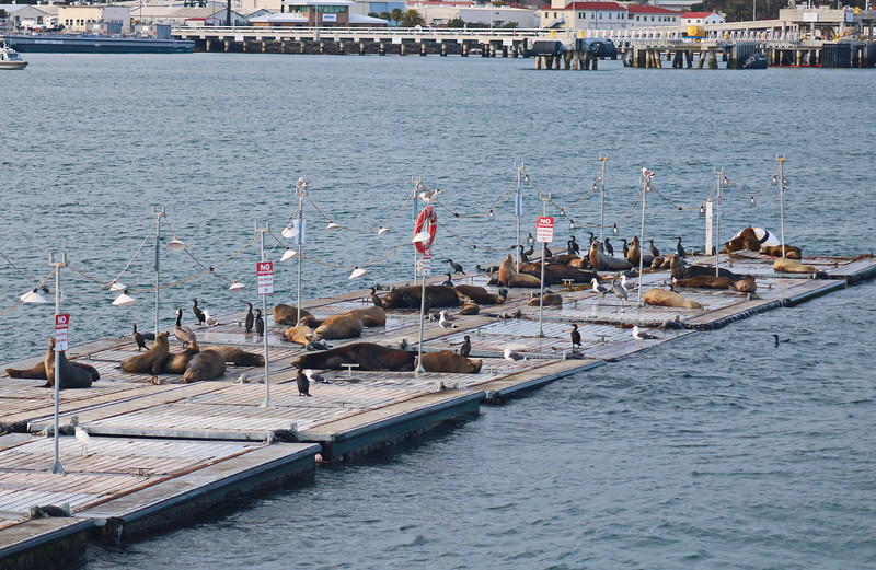 Sea Lions at Rest with Cormorants, Seagulls, and Blue Heron