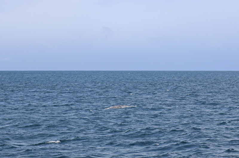Gray Whale Back