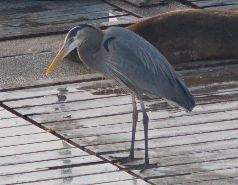 Blue Heron on the Floating Dock