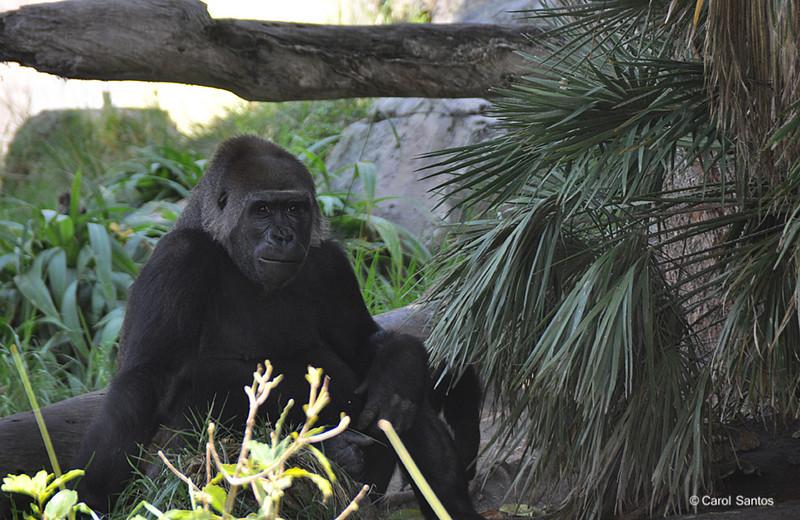 San Diego Zoo, Gorilla