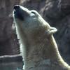 San Diego Zoo, Polar Bear