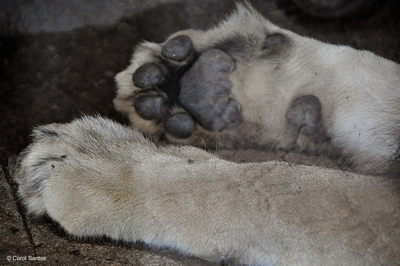 San Diego Zoo, Big Lion's Paws