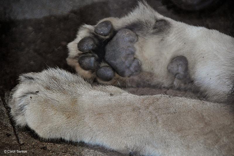 San Diego Zoo, Big Lion's Paws