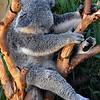 San Diego Zoo, Koala