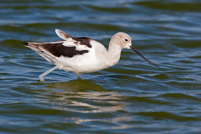 avocet striding