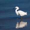striding snowy egret