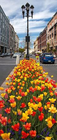 Tulips at Santana Row