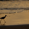 walking dowitcher
