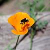 bee poppy & pollen