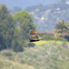 turkey vulture flying over Sycamore Canyon