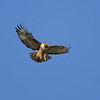 red-tailed hawk hovering