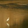 gold light egret