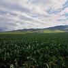 broccoli field near Lompoc