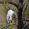 black-crowned night heron @ Devereux Slough