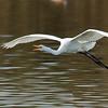 great egret calling in flight
