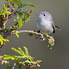 blue-gray gnatcatcher @ Devereux Slough