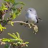 blue-gray gnatcatcher @ Devereux Slough