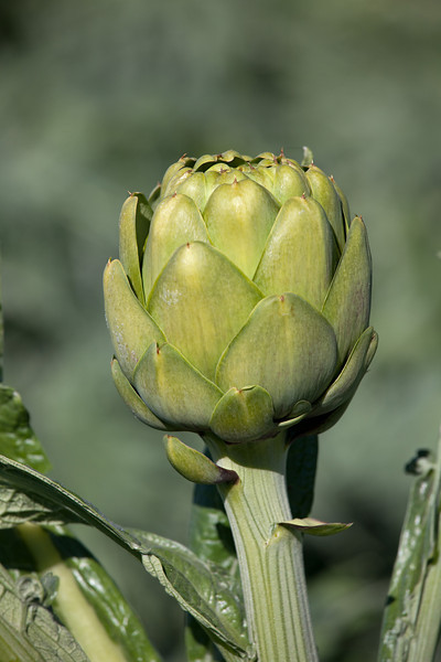 artichoke on stalk