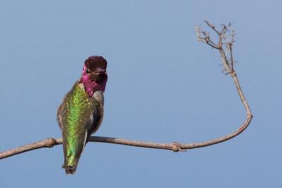 Anna's humminbird staring