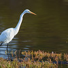 great egret Defereux Slough