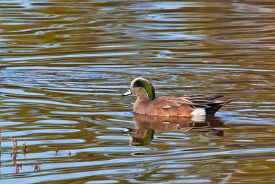 American wigeon in Devereux Slough