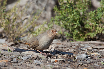 California towhee @ Devereux Slough