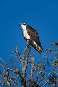 profile of osprey