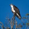 profile of osprey