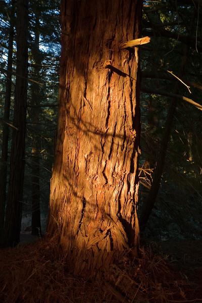 redwood in sunset sunbearm