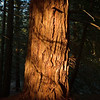 redwood in sunset sunbearm