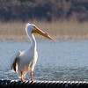 American white pelican on floating barrier