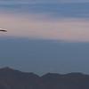 California, Santa Barbara, Pelicans in Flight