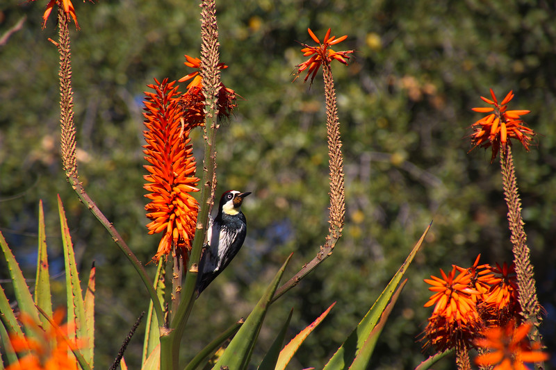 Santa Barbara California, Acorn Woodpecker