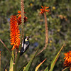 Santa Barbara California, Acorn Woodpecker