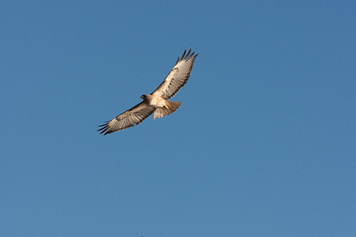 Hawk soaring along cliffs below Douglas Family Preserve