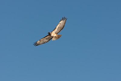 Hawk soaring along cliffs below Douglas Family Preserve
