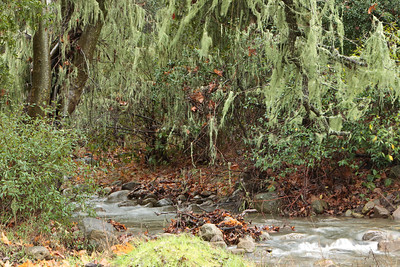 Spanish moss, stream, in an oak forest on a rainy day