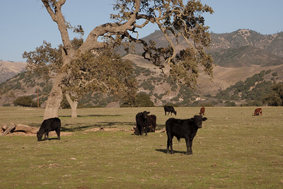 Santa Ynez Valley cattle ranch
