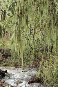 Spanish moss in an oak forest on a rainy day