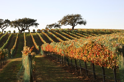 Santa Ynez Valley vineyard