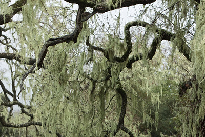 Spanish moss in a wooded area on a rainy day