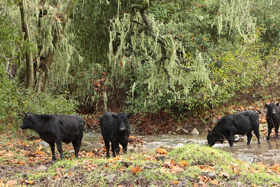 Spanish moss, stream, cattle in an oak forest on a rainy day