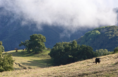 Cattle graze on mountainside following winter rains