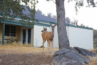 Deer in Old Town, Tehachapi, California