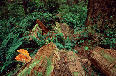 James Irvine Trail, Prairie Creek Redwoods State Park